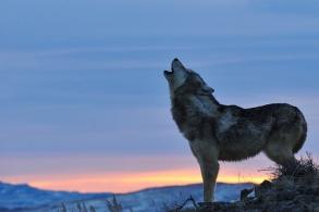 ridgewolfhowl