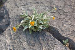 yellow-wild-flowers-growing-rock-crack-horizontal-shot-39439820