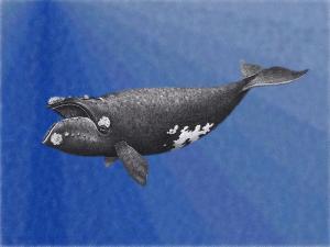 right whalej