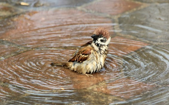 bathing_sparrow_bird-wide