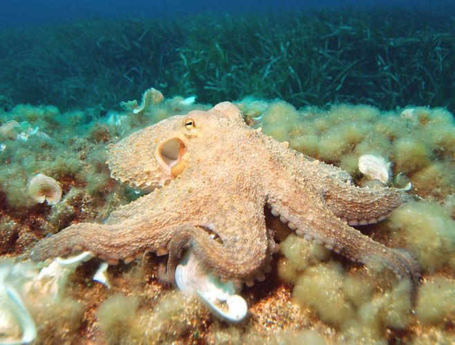 788px-Octopus2